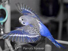 "Follow me on fb www.facebook.com/cockatoos4u ""Parrots Forever"""