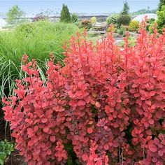 Dogwood Trees, Trees And Shrubs, Flowering Trees, Garden Shrubs, Garden Plants, Orange Rocket Barberry, Shrubs For Sale, Autumn Leaf Color, Trees Online