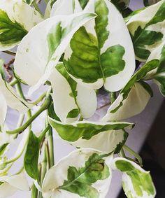 엔조이 스킨답서스, 천남성과 Epipremnum aureum 'N'Joy' 'N'Joy'Golden pothos 'N'Joy' Devil's ivy (araceae)