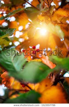 Red Berries On Autumn Foliage Background: стоковые изображения в HD и миллионы других стоковых фотографий, иллюстраций и векторных изображений без лицензионных платежей в коллекции Shutterstock.  Ежедневно добавляются тысячи новых высококачественных фотографий. Pictures For Sale, Red Berries