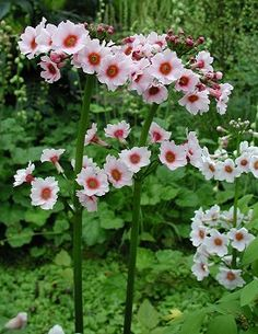 Primula Japonica -- Bees love this stuff