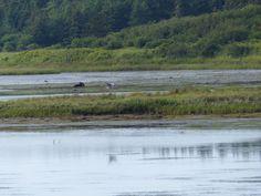 SingleMalt-CapeBreton-NorvellHimself: Judique Flyer Trail - Great Blue Heron Takes Wing