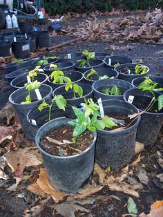Growing Passion Fruit and propagating them is quite easy.  Here we have just cuttings, stripped of bottom leaves to make stems, and inserted into sterile potting soil (more toward the desert mix variety).  Kept in shade, deeply watered once and then covered with a tight fitting (one gallon) sandwich bag, they will root in  about 30 days with no maintenance. White Dove Passion Fruit Farm  / WhiteDovesFarmFresh.com