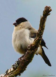 Priolo | Azores Bullfinch (Pyrrhula murina)