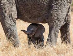 Newborn baby elephant, Kruger NP