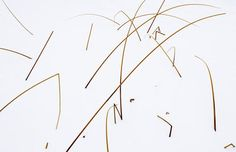 Reeds in Snow botanical print by David Ballantyne