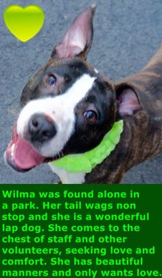 RETURNED 04/16/16 TOO STRONG --- SAFE 3-14-2016 --- Manhattan Center WILMA – A1066877 FEMALE, BR BRINDLE, AM PIT BULL TER MIX, 10 mos STRAY – STRAY WAIT, NO HOLD Reason STRAY Intake condition UNSPECIFIED Intake Date 03/06/2016 http://nycdogs.urgentpodr.org/wilma-a1066877/
