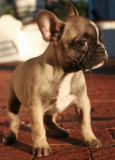 French bulldog pup Dario's next dog