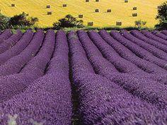 En Brihuega se encuentra una de las zonas más grandes de cultivo de la lavanda en la provincia de Guadalajara