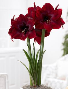 "Hippeastrum amaryllis ""Red Pearl"". - large flowering"