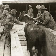 The Great War. First World War: horses are groomed at the front in Belgium. 1916.