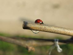 The weeping of the vine is a notice that Spring has arrived to the vineyard. #ladybug #wine