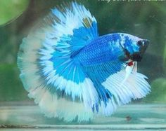 Super-Butterfly-Giant-Halfmoon-Betta-Quality-AAA-Thai-Import Beautiful Creatures, Animals Beautiful, Cute Animals, Aquascaping, Betta Fish Care, Beta Fish, Siamese Fighting Fish, Halfmoon Betta, Majestic Animals
