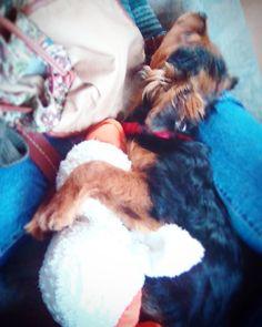 Flokilein #puppy #floki #dog #catfighter #sleepindog #withduck