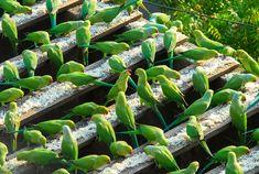 periquitos-comendo-arroz-no-telhado