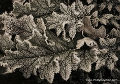 winter oak leaves