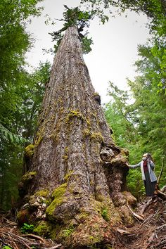 The Red Creek Fir - World's LARGEST Douglas fir Tree! Photo - Biggest Trees Gallery - Ancient Forest Alliance
