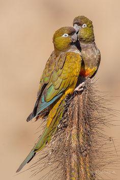 Burrowing Parrots (Cyanoliseus patagonus) Argentina and Chile Rare Birds, Exotic Birds, Colorful Birds, Pretty Birds, Beautiful Birds, Animals Beautiful, Parrot Pet, Parrot Bird, Unusual Animal Friendships