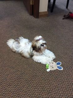 love the shih tzu sit.......                                                                                                                                                     More