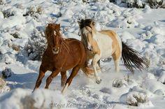 2.5 yrs old colts in Great Basin Desert, Utah. Photo by Kent Keller