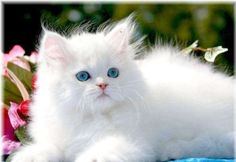 British Longhair Cats Breeds