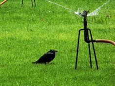 Crow Bathing