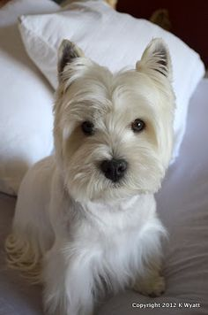 Westie Julep: Grooming The Westies & Fabric Shopping