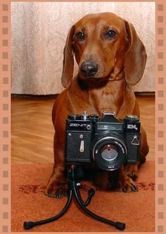 Dachshund is photographer