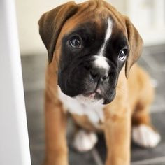 Boxer pup! Tag us with #puppiesforall for a chance to be featured! @DogVacay #dog #love #instadaily #cute #puppy #instagood #puppies #dogs #photooftheday