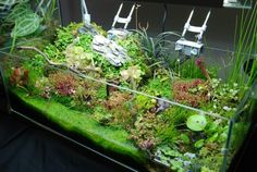 Emersed aquatic plants with carnivorous plant layout - Plant Physiology & Emersed Culture - Aquatic Plant Central