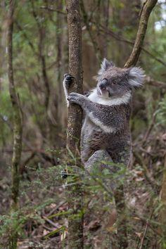 Koala freie Wildbahn Victoria Australien Ostküste