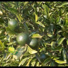 """Mandarini """"Ciaculli"""" 100% bio. Maturazione in corso. - www.agrumando.it"""