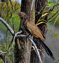 This is the pheasant coucal (Centropus phasianinus), the only living australian