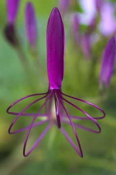 A detail of a purple spider flower (Cleome hassleriana) as it begins to bloom by Francisco Marty on