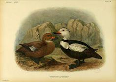 Labrador Duck, Extinct birds, London Hutchinson,1907