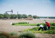 Fracking the Poor:  In a community garden next to Sequoia Elementary in Shafter, California, gardeners harvest vegetables within sight of an oil pump.