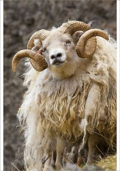 Farm Animals, Animals And Pets, Cute Animals, Strange Animals, Alpacas, Beautiful Creatures, Animals Beautiful, Photo Animaliere, Sheep And Lamb
