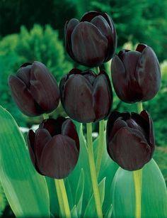 Wow black tulips (Queen of night)