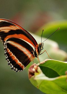 Tiger Striped Butterfly  by Sandy Keeton
