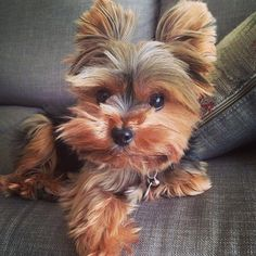 Image Reasons Why You Should Never Own Yorkshire Terriers. JUST TOO CUTEImage of the cutest small dog breeds on the planetImage viaYorkshire terrier by ana. Cutest Small Dog Breeds, Cute Small Dogs, Cute Dogs, Small Breed Dogs, Yorky Terrier, Yorshire Terrier, Teacup Puppies, Cute Puppies, Dogs And Puppies