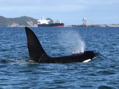 Orca visiting Auckland Harbour, New Zealand