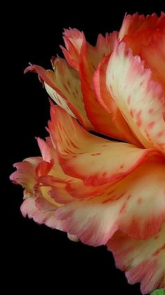 Carnation Petals by Vanda's Pictures