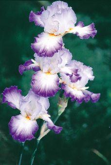 Conjuration | Tall Bearded Iris  Schreiner's Iris Gardens
