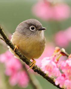 Gray-cheeked Fulvetta among the pink cherry blossoms #bird #animal