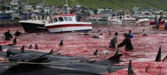 The annual Faroese whale hunt is easy to dislike. The organisation that is working hardest to stop it is no Prince Charming either