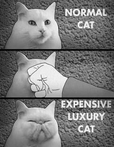 Normal vs Expensive Cat