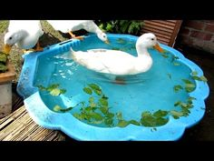 My daily duck routine Keeping Ducks, Keeping Chickens, Raising Chickens, Backyard Ducks, Chickens Backyard, Chicken Life, Chicken Runs, Duck Pens, Duck Duck