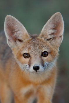 Fox Cub by © Kent Keller