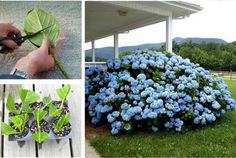Learn how to grow Hydrangeas