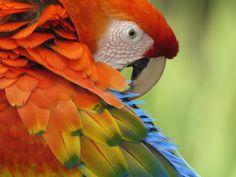 65 red parrot close-up